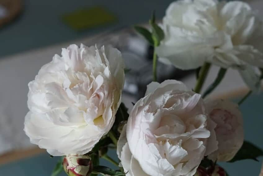 Read more about the article Friday-Flowerday | Pfingstrosen nach Pfingsten
