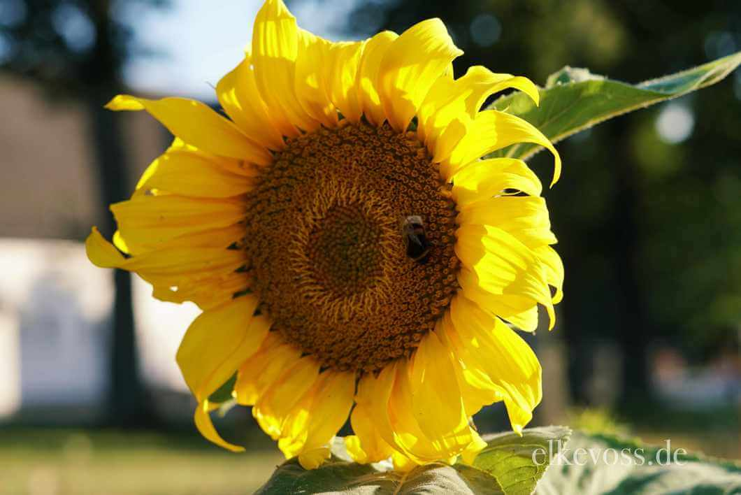 Read more about the article Friday-Flowerday mit Sonnenblumen ….